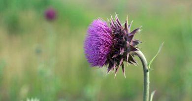 Distel Schottland Reisebericht