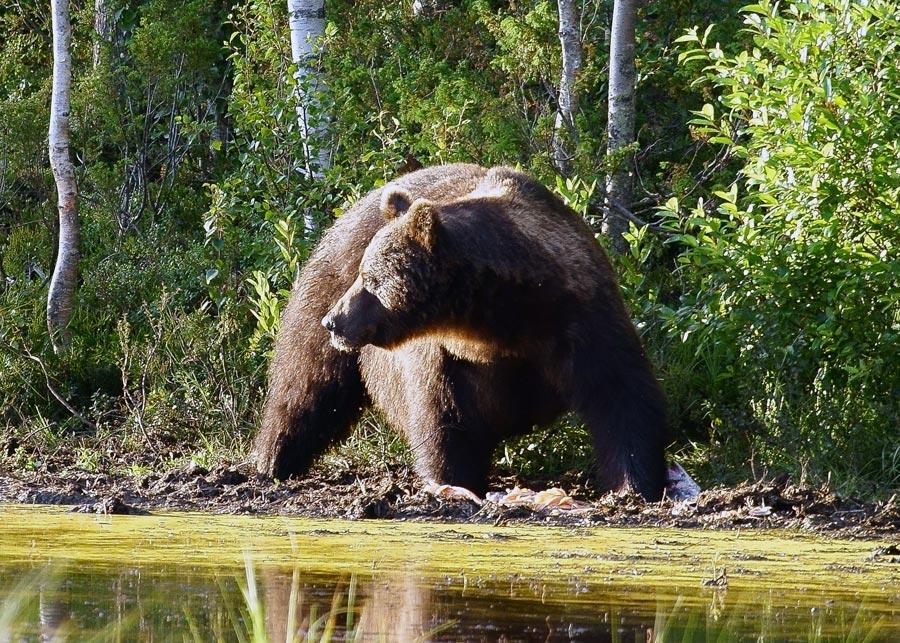 Bär in der Natur bei Kuusamo