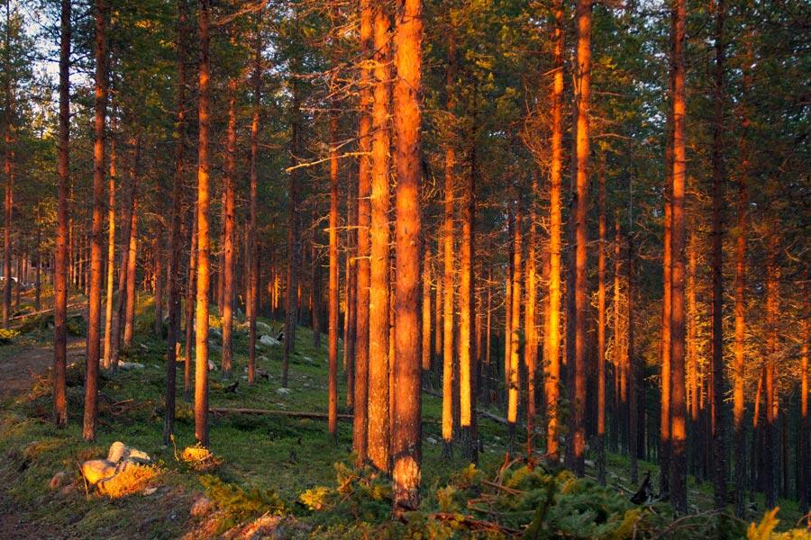 Mitternachtssonne im Wald