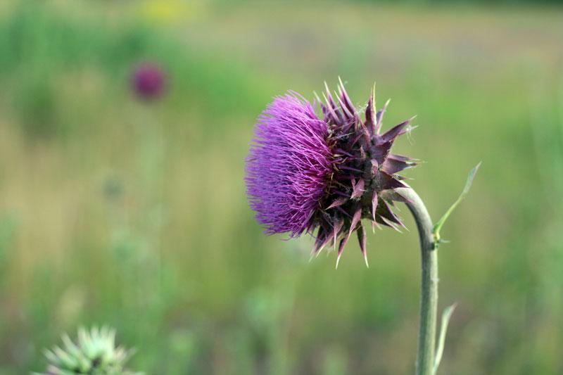 Distel, schottische Nationalblume
