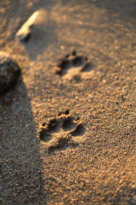 Pfotenabdrücke im Sand
