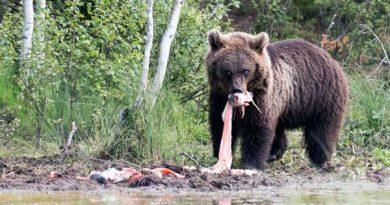 Bärenbeobachtung Finnland