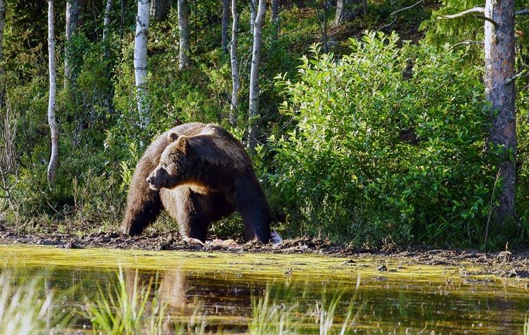 Bär beobachtet Umgebung