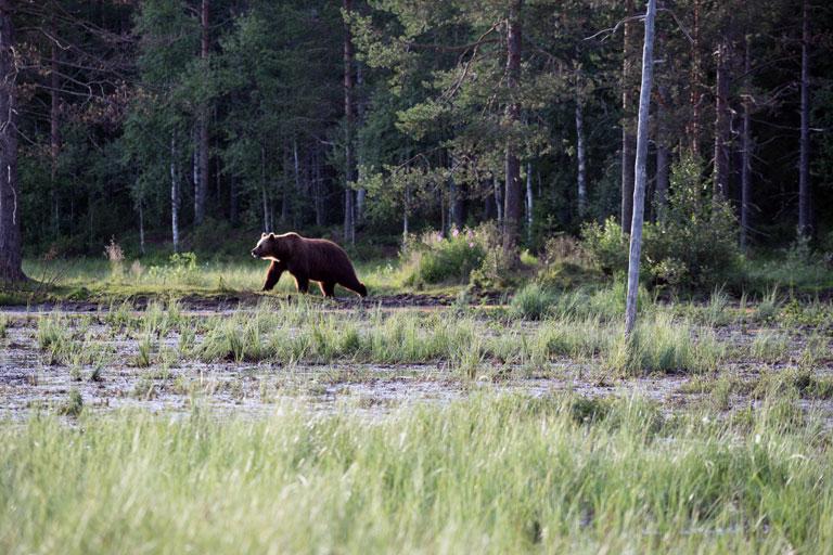 Bär taucht auf