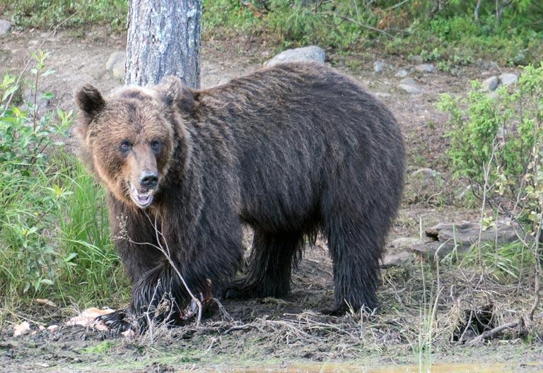 Bärenbeobachtung, Geduld hat sich gelohnt