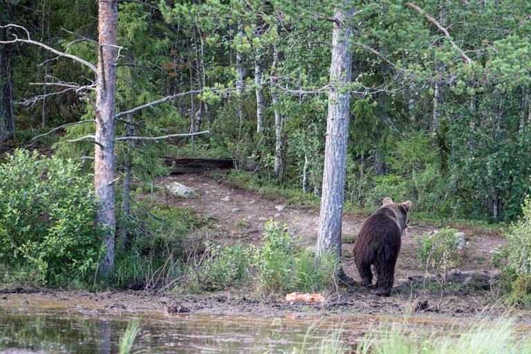 Einer von 2.000 Bären in Finnland