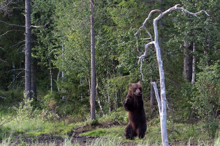 Auf Hinterbeinen aufgerichteter Bär