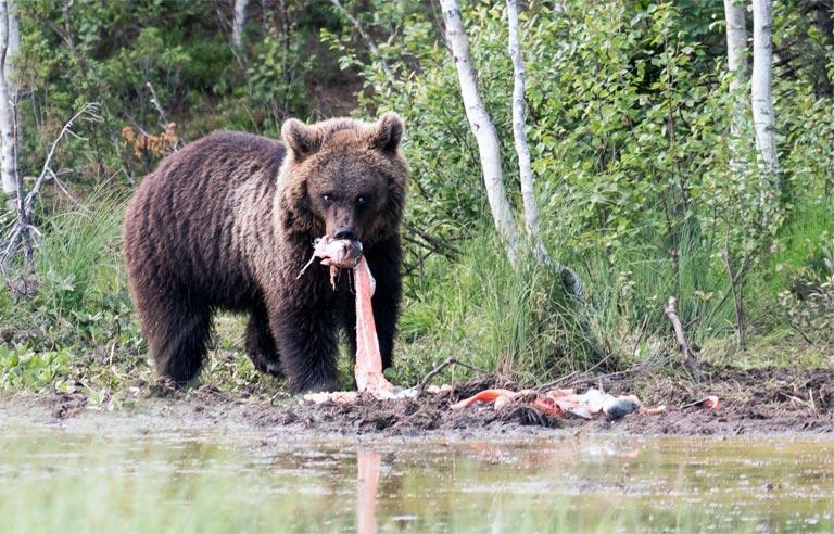 Herbst ist beste Sammelzeit für Bären