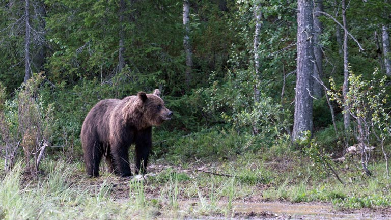 Erfolgreiche Bärensafari in Ostfinnland