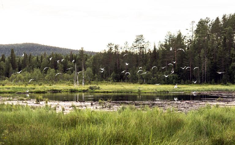 Sumpfgebiet in der Grenzregion um Kuusamo, Ostfinnland