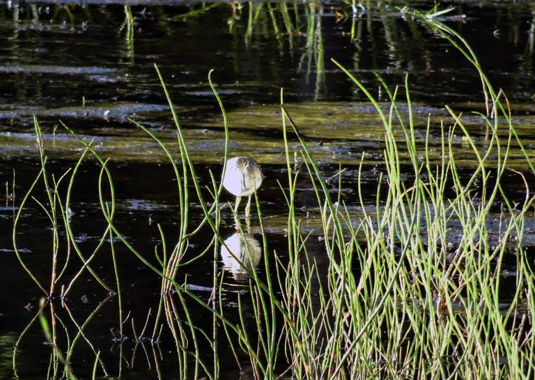 Bekassine im Sumpf
