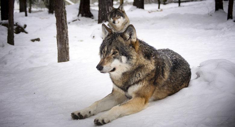 Wolfsjagd in Schweden