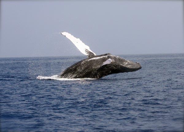 Norwegen erhöht Walfangquote