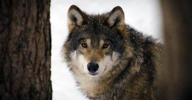 Wolf Nationaltier Estland