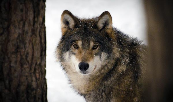 Estland wählt den Wolf zum Nationaltier