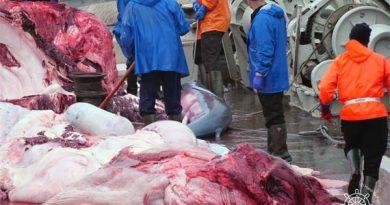 Walfang Island Schwangerer Wal getötet