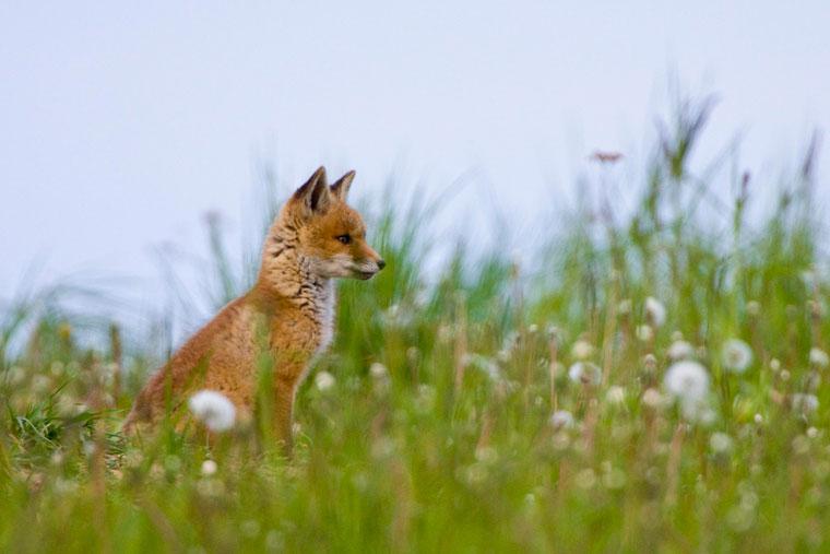 Fuchs Südestland Natur
