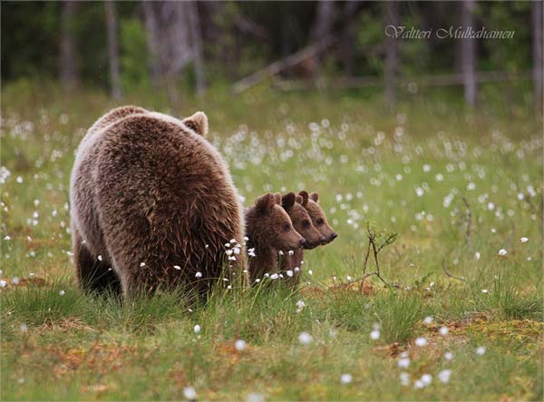 Tierfotografie Finnland Bärensafari