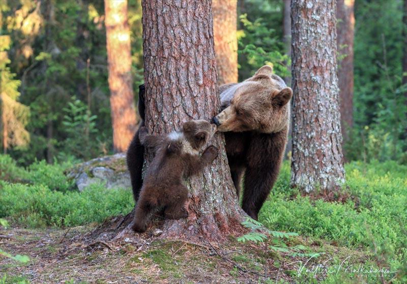 Bären Tierfotografie Valtteri Mulkahainen