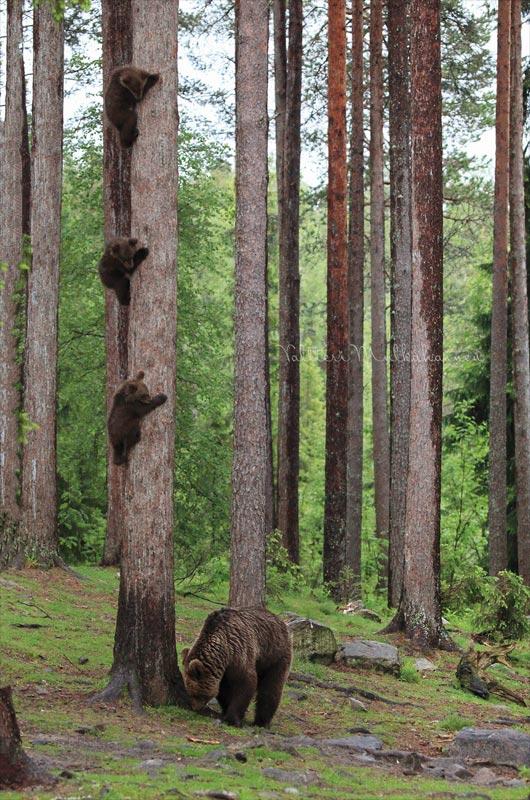 Tierfotografie Bären