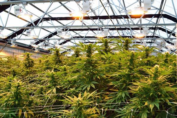 Finnische Gärtnereien wollen Cannabis zum Exportschlager machen
