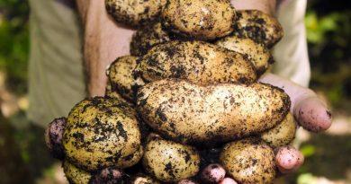 Junge Kartoffeln