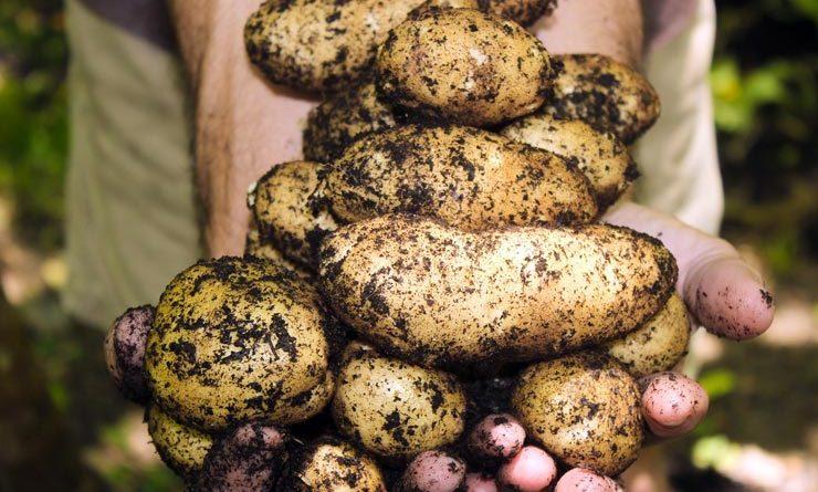 Schottland Brexit Junge Kartoffeln