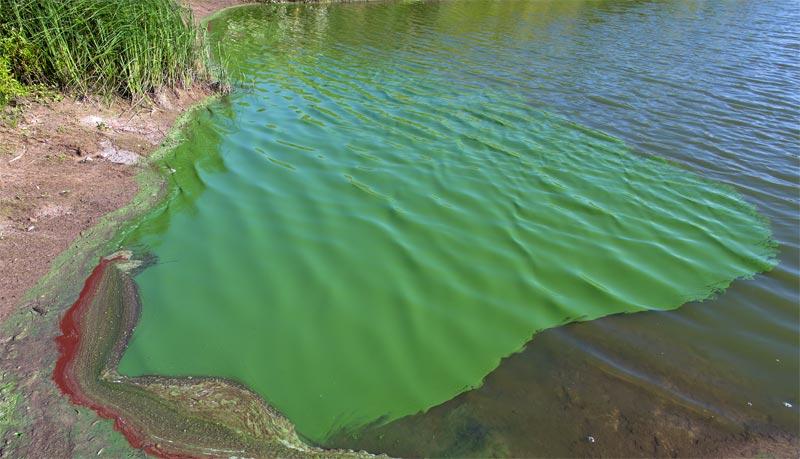 Forschung Biodiesel aus Blaualgen