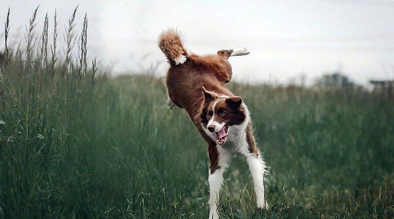 Hundekrankheit