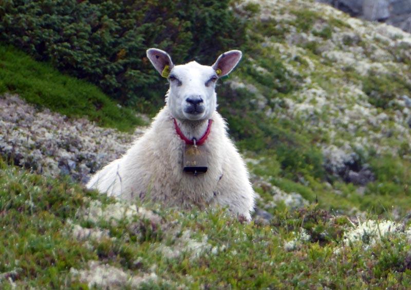 Schaf Norwegen