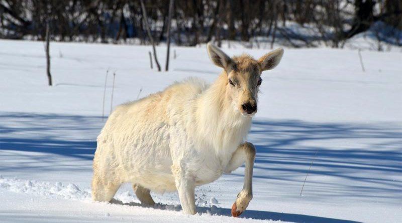 Weißer Elch Finnland
