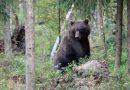 Estland: Verletzter und möglicherweise gefährlicher Bär in Setomaa unterwegs