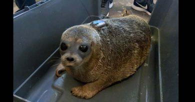 1.500 Kilometer: In Island gestrandetes Robbenbaby Kári schwimmt zurück nach Grönland (Video)