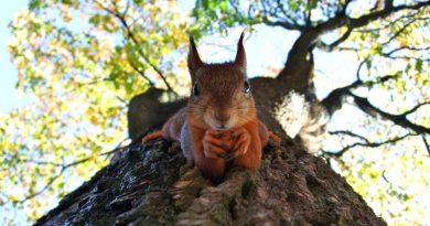 Eichhörnchen Irland