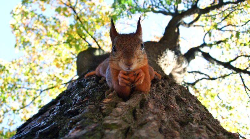 Rotes Eichhörnchen Irland