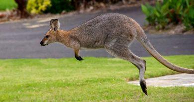 norwegen känguru