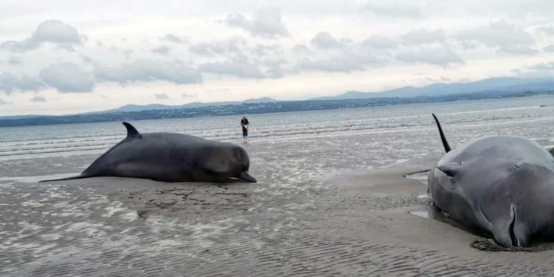 Wale gestrandet Irland