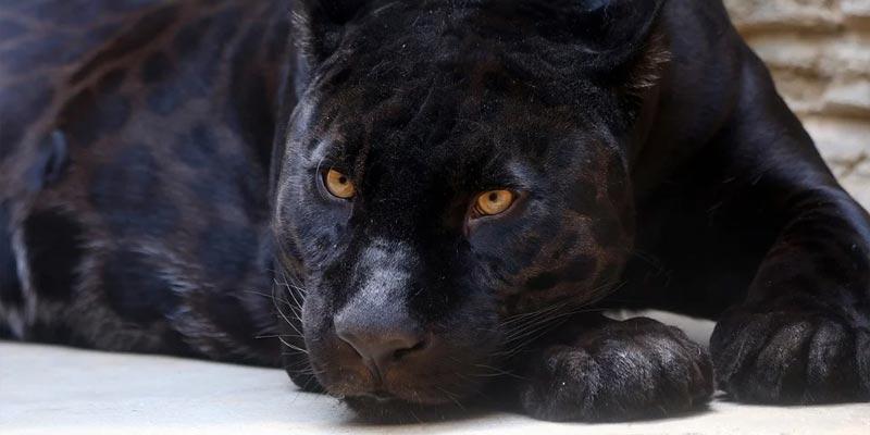 England: Falscher schwarzer Panther löst Einsatz aus