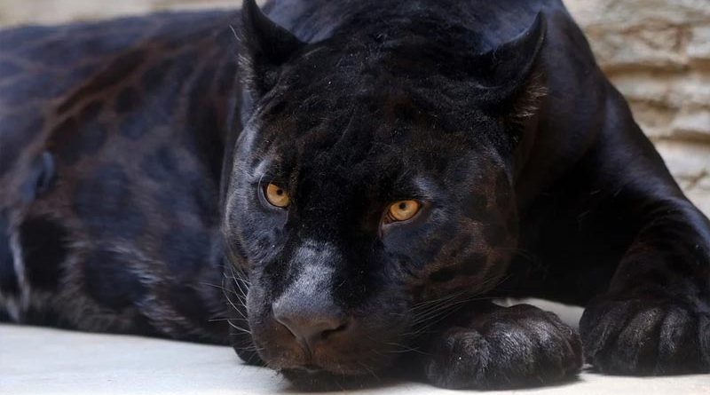 Steyning Panther