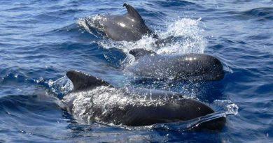 Wale gestrandet Island