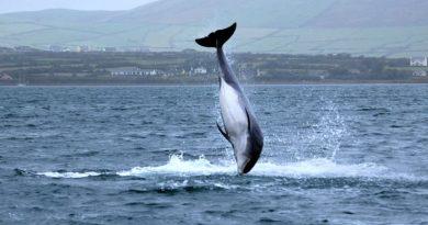 """Fungie, Irlands vermisster Delfin, ist """"mit der Flut gegangen"""""""