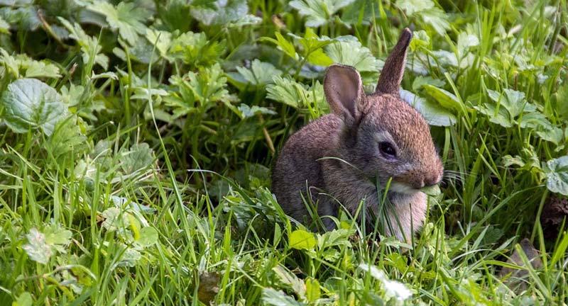 Tierseuche Kaninchen