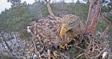Paarungsverhalten Adler Video