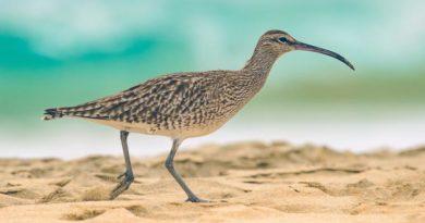 Irland: Kampf um vom Aussterben bedrohte Vogelart hat begonnen