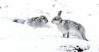 Schneehasen Schottland