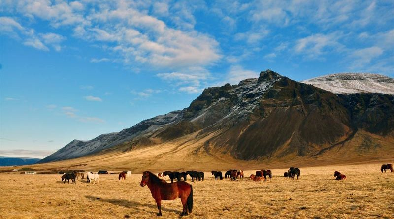 Islandpferde Zucht Pony