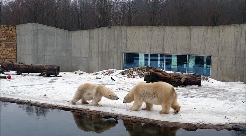 Zoo Tallinn: So sehen die ersten Minuten aus, wenn sich zwei Eisbären kennenlernen (VIDEO)