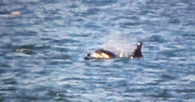Wale Dänemark Orca