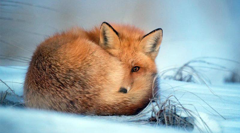 Fuchsjagd Schottland