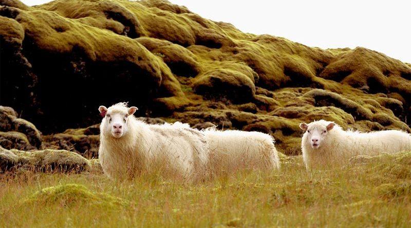 Wie viele Schafe gibt es in Island?
